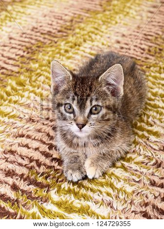 Small gray kitten which represented on textile background