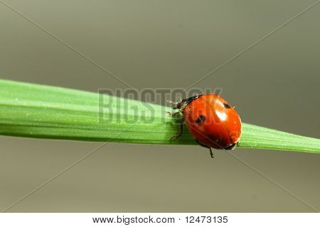 summer red  ladybug