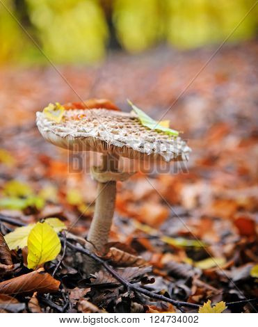 Parasol Mushrooms (macrolepiota) In The Autumn Forest