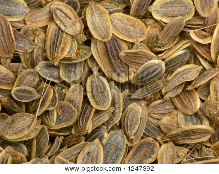 Funnel Seeds Close Up.