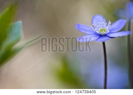 Blue spring flower magic, Hepatica nobilis in the pristine forest of Slovenia. A beuatiful small wildflower macro. Liverleaf or liverwort background with copy space.