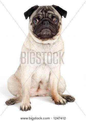 Friendly Pug Dog Sitting On An Isolated White Background