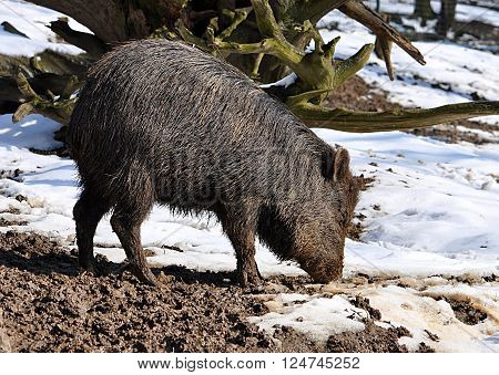 view of animals - wild boar in winter