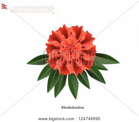 Nepal Flower Illustration of Red Rhododendron Flowers. The National Flower of Nepal.