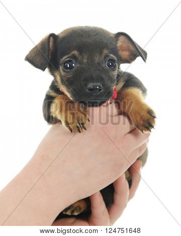 Closeup image of a tiny puppy being held by two young hands.  On a white background.