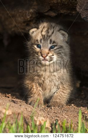 Baby Bobcat Kitten (Lynx rufus) Sits Up Inside Log - captive animal