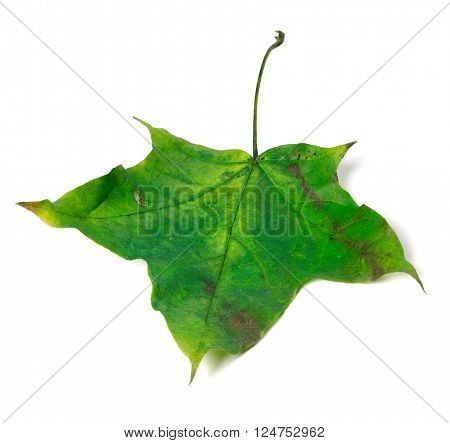 Green Autumn Maple Leaf