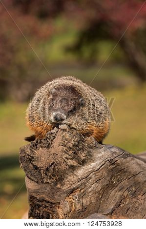 Woodchuck (Marmota monax) Snoozes Atop Log - captive animal