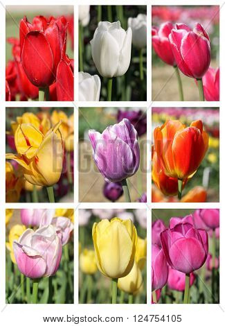 Different color Tulip flower collage