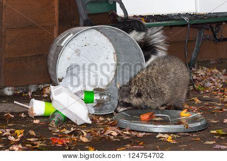 Raccoon (Procyon lotor) with Trash Skunk Behind - captive animals