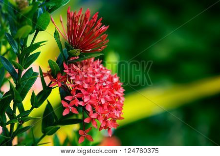 Ixora coccinea tropical flower Trinidad and Tobago gardening