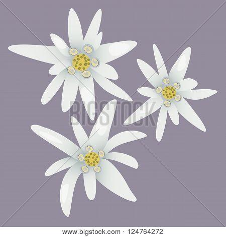 Edelweiss flowers.Alpine white flowers. Vector illustration eps10