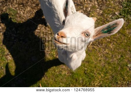 Newborn Animal Albino Goat Explores Taking A Break to Look Up At You