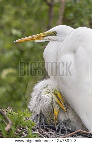 Young great egrets take refuge beneath their parent on the nest in a Florida wetland.