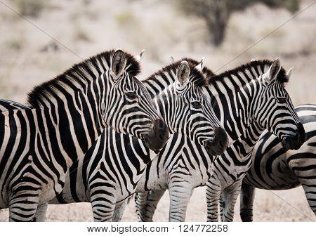 Starring Zebras in the Kruger National Park, South Africa.