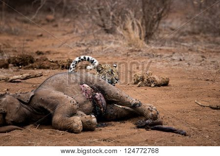 Leopard hiding behind an Elephant carcass in the Kruger National Park, South Africa. ** Note: Visible grain at 100%, best at smaller sizes