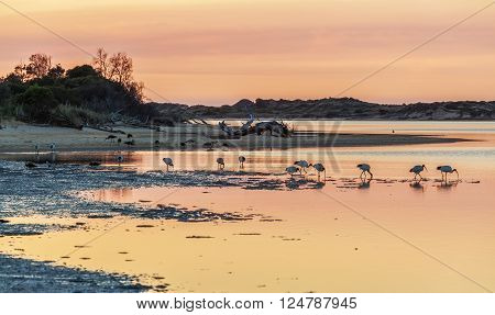 White Australian Ibises feeding at Snowy River Estuary on sunrise, Victoria, Australia.