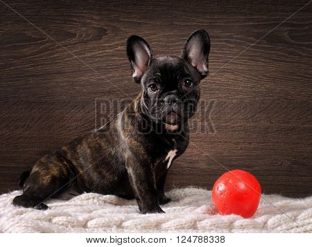Dog sitting on the rug next to a toy - a red balloon. Pedigreed Dog, French Bulldog. Color red. Background wooden board