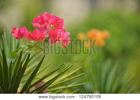 Bright pink bougainvillea flower against blur green background. Image contains free space.