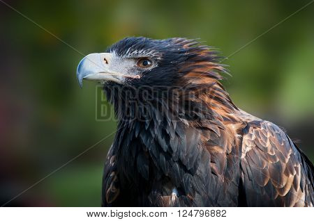 Closeup Portrait of a White-tailed Sea Eagle