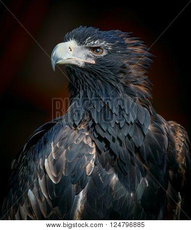 White-tailed sea eagle on a dark background