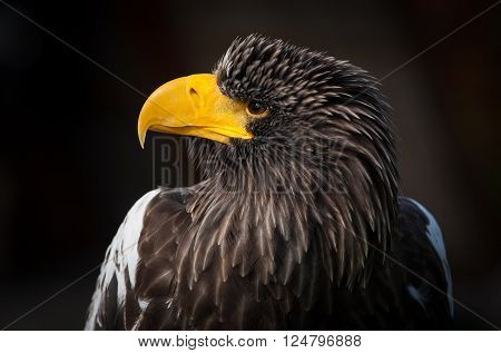 Portrait of Steller's Sea-Eagle on dark background