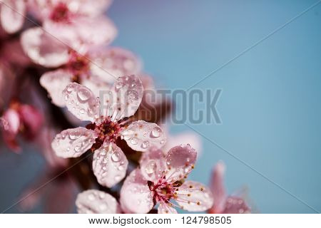 Beautiful fresh and young pink flowers of cherry in dew drops over blue sky. Macro.