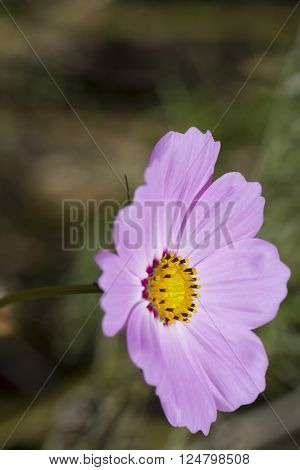 Pink Cosmos Bipinnatus commonly called Garden Cosmos and Mexican Aster. Situated in the garden bed with very shallow focus.
