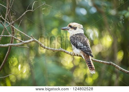 Kookaburra by itself in a tree during the day in Queensland