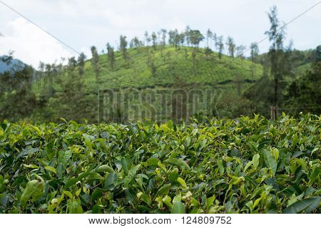 morning view Tea plantations. Wayanad, Kerala, India