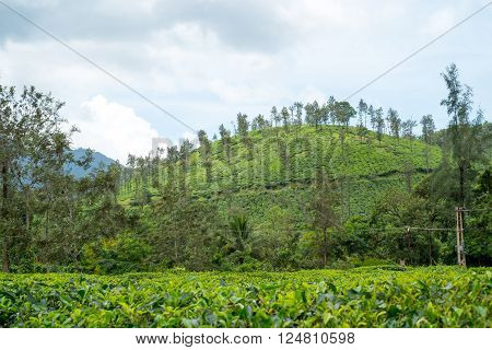 view of Tea plantations. Wayanad Kerala India