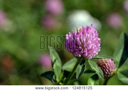 Close-up view of purple flower of on Trifolium plant is in side sunlight on green background.
