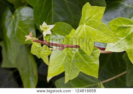 Closeup image of small new hedera leaves (Hedera helix).