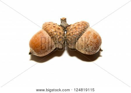 Two brown acorns with caps on over white