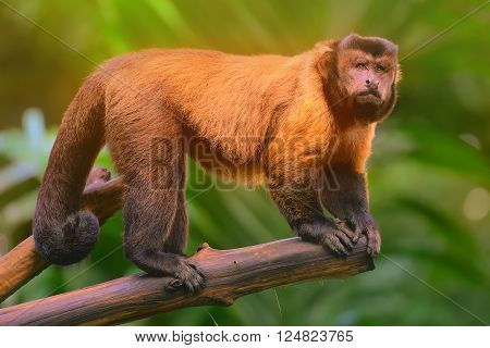 Brown capuchin monkey sitting among the trees.