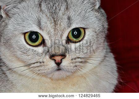 Close-Up of Gray British Shorthair. Sad eyes.