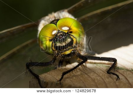 the compound eyes of a dragon fly