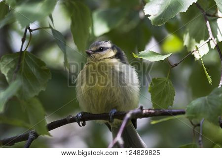 a small blue tit chick among the leaves
