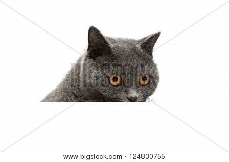 cat on a white background sits behind a white banner. horizontal photo.