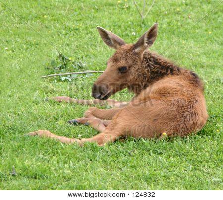 Moose Calf2