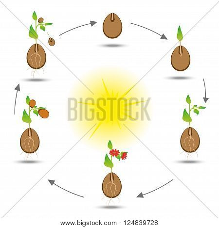 Life cycle of the plant. Plant cultivation scheme. Vector botanical illustration.