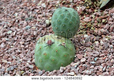 Cactus Planted In A Botanical Garden.