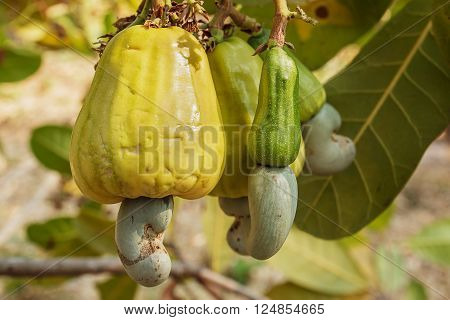 Fresh Cashew nuts are ripe on the Cashew tree