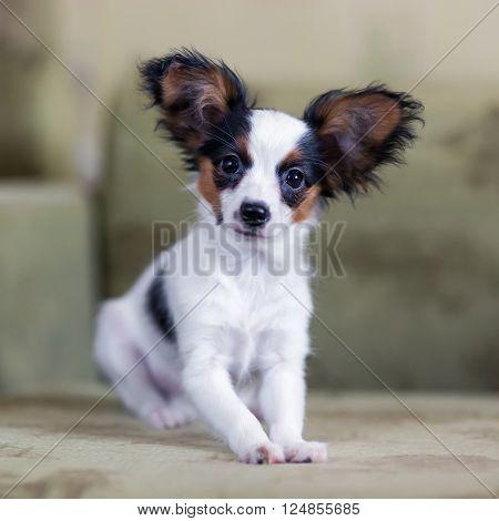 Cute Papillon puppy sitting on a sofa