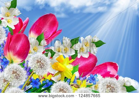Spring landscape. Flowers tulips on a background of blue sky with clouds. blowball