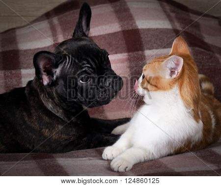Friendship, love cats and dogs. Black Dog Bulldog, white cat