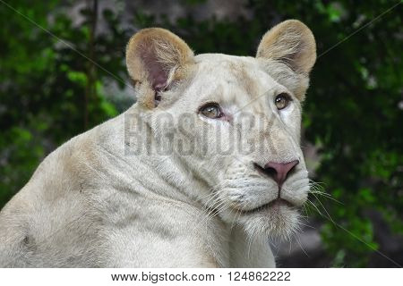 Young White Lioness Portrait In Zoo Close Up