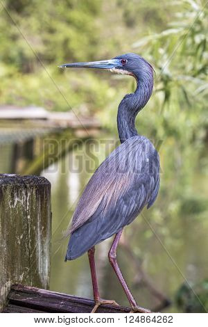 A tricolor heron perches on a fence overlooking a Florida wetland.