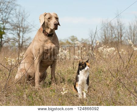 Calico cat with her Weimaraner dog friend sitting in grass in early spring, looking in the same direction
