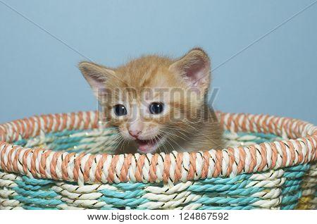 Orange Tabby Kitten 4 Weeks Old Sitting In Multi Colored Spring Basket Looking To The Side Meowing